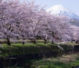 フジモクのちょっとオススメ 皆野川の『皆の雑学シリーズ』テーマ「桜」